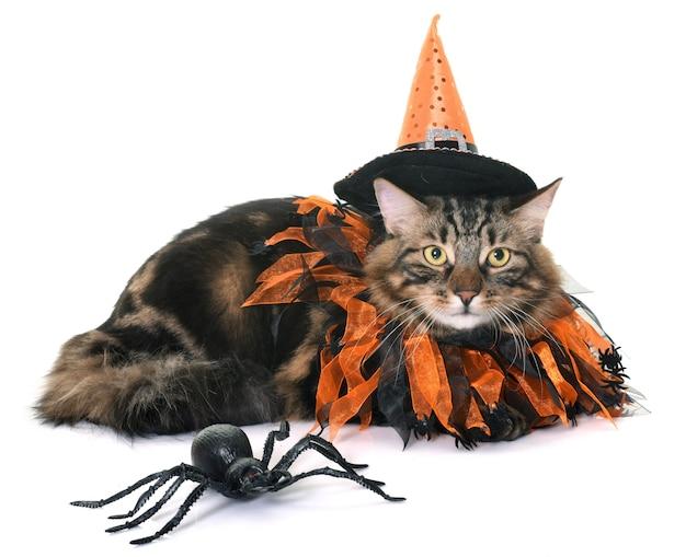 Maine coon cat e o dia das bruxas