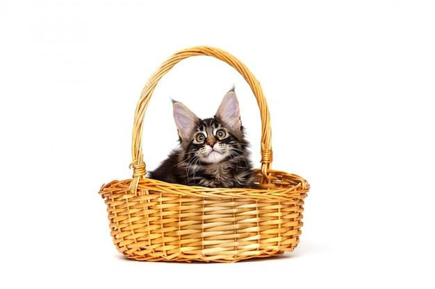 Maine coon gatinho sentado na cesta de vime isolada no branco