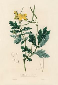Maior celidônia (chelidonium majus) ilustração de medical botany (1836)