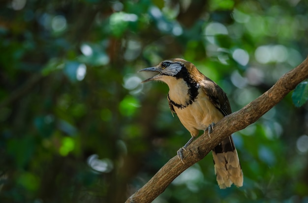 Maior necklaced laughingthrush na filial na natureza