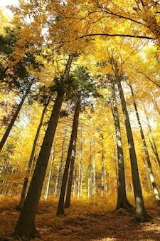 Majestosa floresta de faias em cores douradas do outono