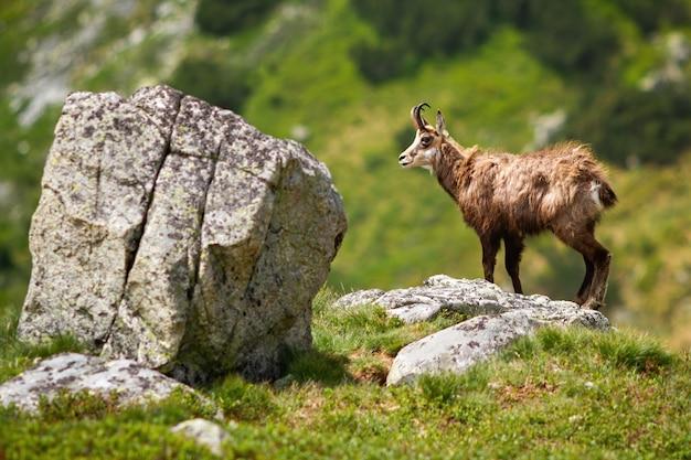Majestoso tatra camurça em pé sobre a rocha no verão