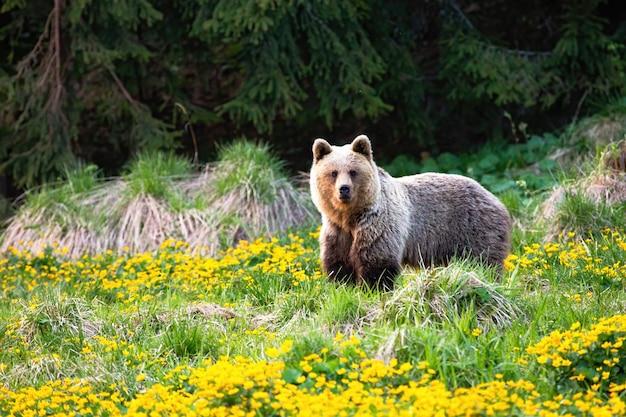 Majestoso urso pardo, ursus arctos, de pé em um pasto com flores amarelas na primavera. animal feminino poderoso, olhando para a câmera no verão, com espaço de cópia.