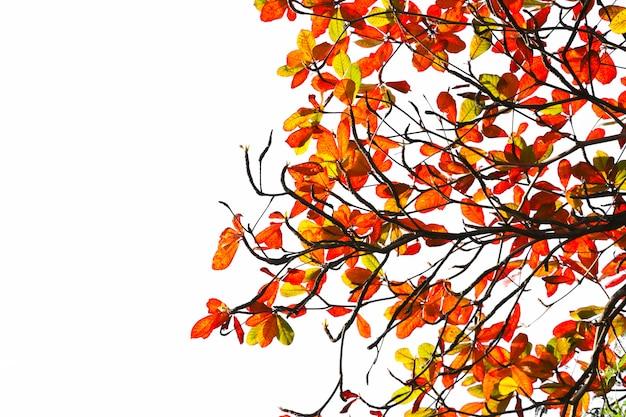 Malabar folhas vermelhas no verão beleza abstrata na natureza