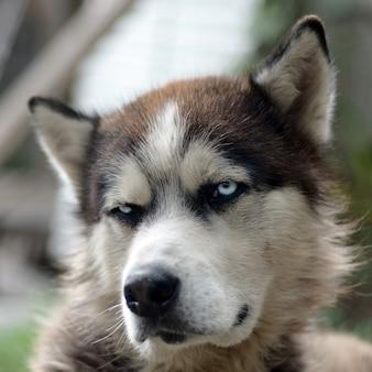 Malamute ártico com fim do retrato do focinho dos olhos azuis acima. este é um tipo nativo de cachorro bastante grande