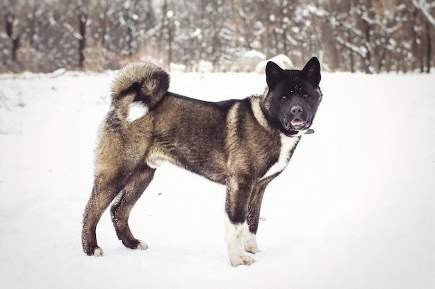 Malamute do alasca cor escura no ambiente natural caminhando na neve