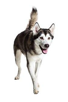 Malamute do alasca em pé, mostrando a língua, isolado no branco. husky