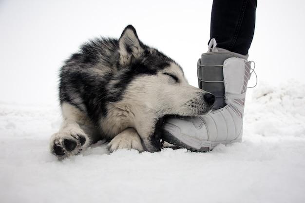 Malamute do alasca posando em uma cena de inverno e brinca com a perna do homem