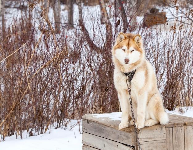 Malamute vermelho em berçário para cães no inverno