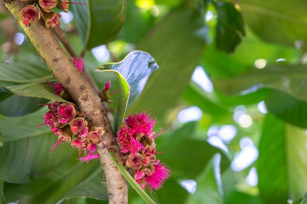 Malay apple, malaia rosa flor de maçã na árvore no jardim
