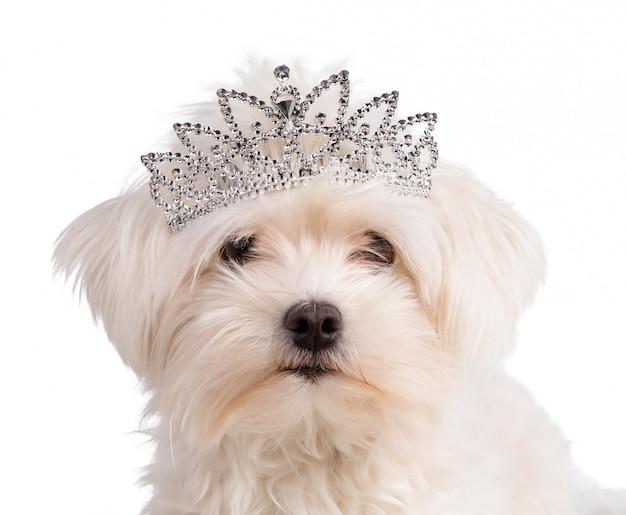 Malich bichon com uma coroa de rainha