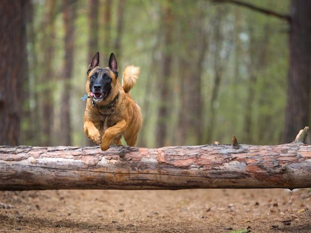 Malinois produz um cão ao saltar através de uma árvore na floresta.