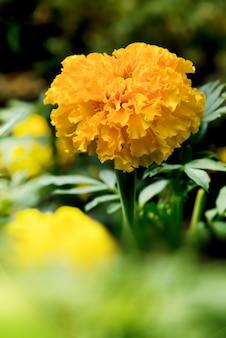 Malmequeres de florescência amarelos no jardim