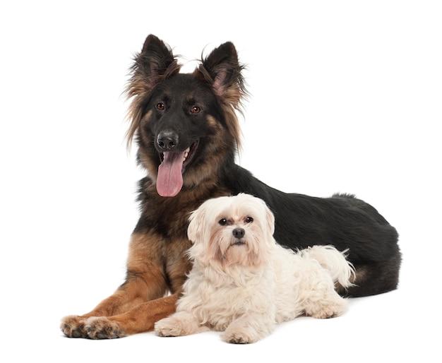 Maltês, e, pastor alemão, cão, retrato, contra, fundo branco