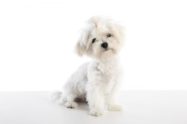 Maltichon cachorrinho bichon maltês em branco