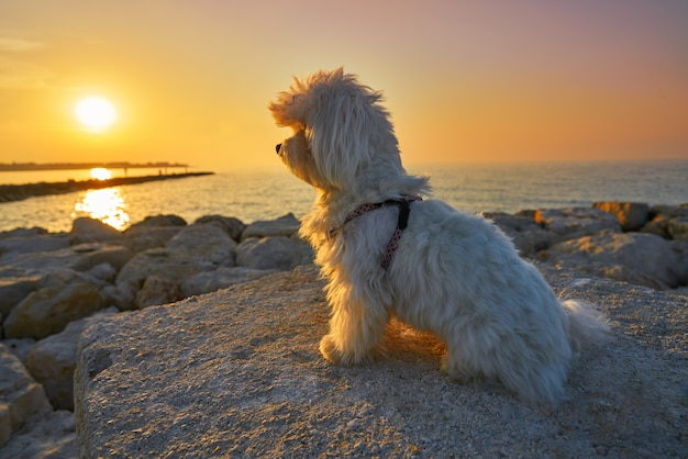 Maltichon pet dog procurando por do sol da praia