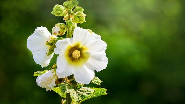 Malva branca sobre um fundo desfocado. flores do verão
