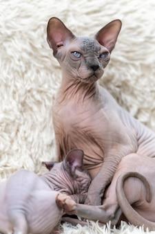 Mamãe canadense sphynx cat sentada e amamentando gatinho sem pêlos no fundo do tapete branco