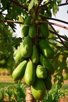Mamão frutos da árvore de mamão no jardim na tailândia