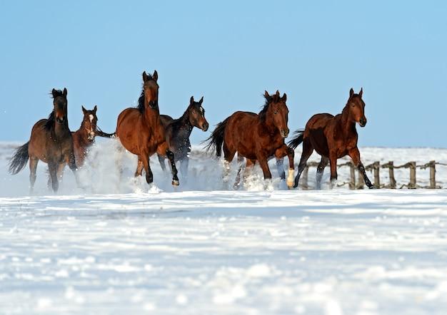 Manada de cavalos correndo em um campo nevado