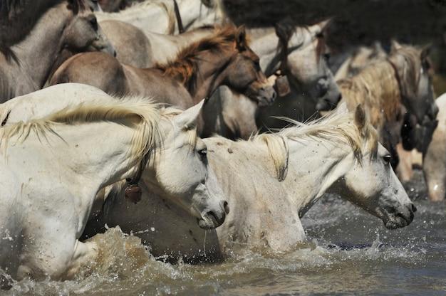Manada de cavalos de camargue