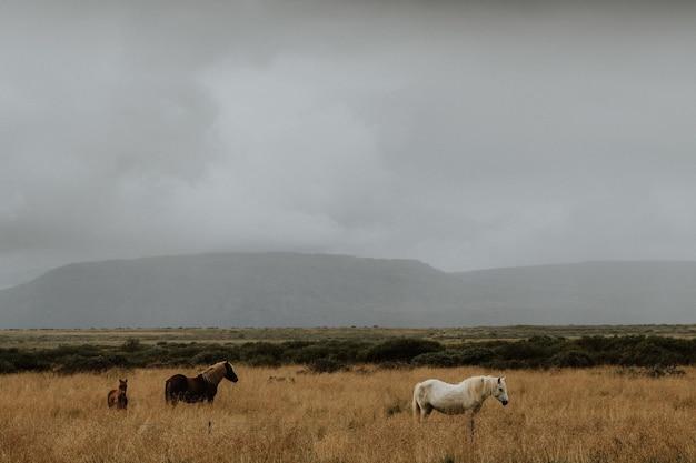 Manada de cavalos pastando em um campo gramado com um fundo nebuloso na islândia
