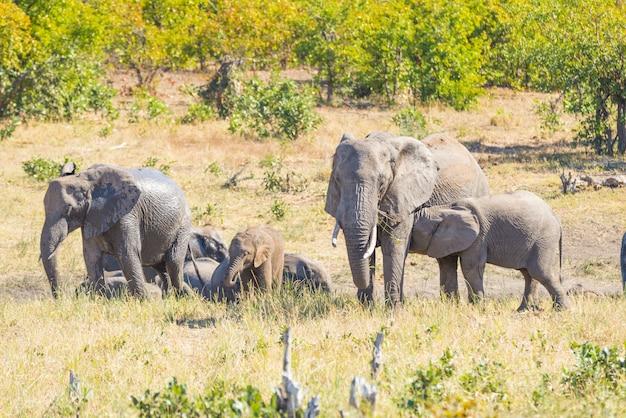 Manada de elefantes africanos brincando com água e lama no mato.