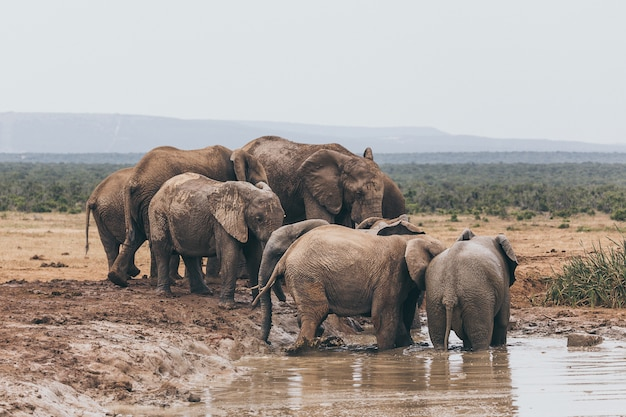 Manada de elefantes africanos no parque nacional de addo, áfrica do sul