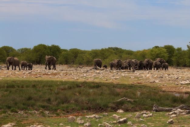 Manada de elefantes do parque nacional de etosha, namíbia