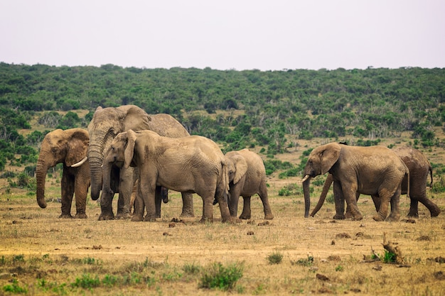 Manada de elefantes no parque nacional addo, áfrica do sul