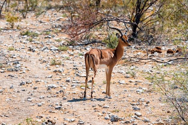 Manada de gazelas antílopes e avestruzes no poço de água, okaukuejo, parque nacional etosha, namíbia