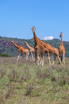 Manada de girafas na savana