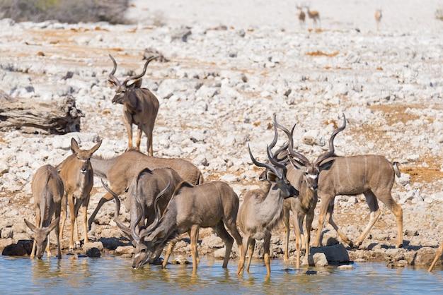 Manada de kudu bebendo do poço de água.