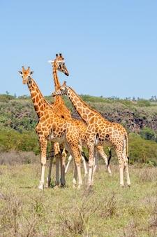 Manada de três girafas na savana