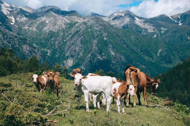 Manada de vacas fica no vale da montanha em picos nevados