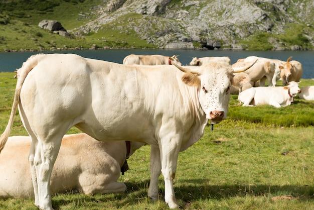 Manada de vacas nas pastagens alpinas perto de um lago