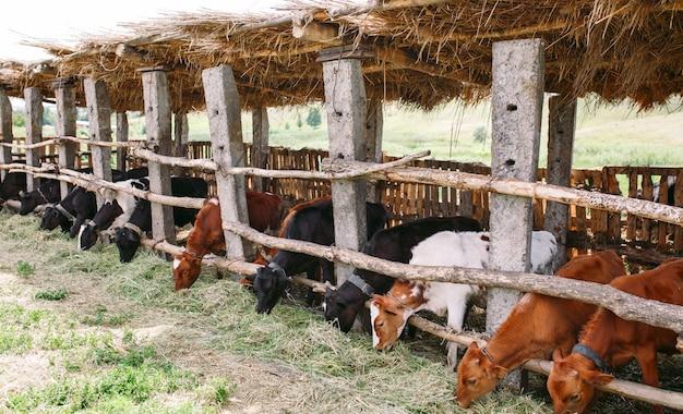Manada de vacas no estábulo