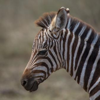 Manada de zebras, áfrica