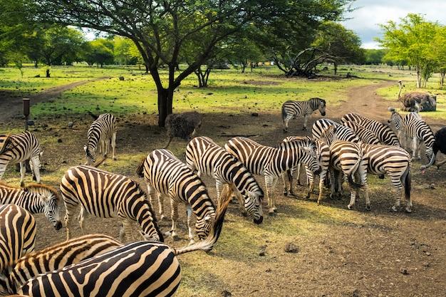 Manada de zebras e avestruzes selvagens no parque nas ilhas maurício