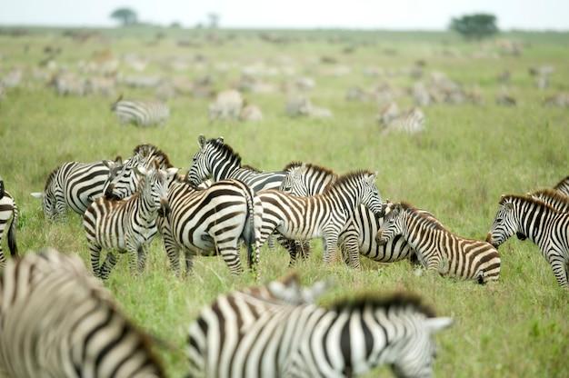 Manada de zebras na planície do serengeti