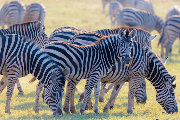 Manada de zebras pastando no mato. brilhando quente luz do sol. safari da vida selvagem nos parques nacionais africanos e reservas de vida selvagem.