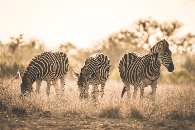 Manada de zebras pastando no mato. safari da vida selvagem no parque nacional kruger, principal destino de viagem na áfrica do sul. imagem enfraquecida, velho estilo retro vintage.