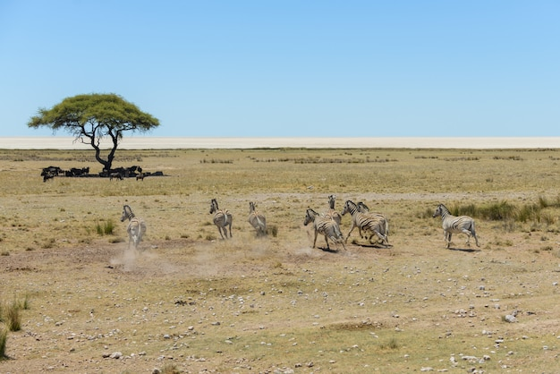 Manada de zebras selvagens correndo na savana africana