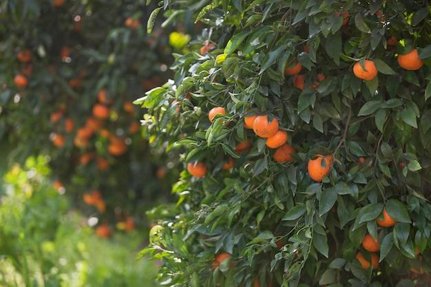 Mandarinas com frutas nos galhos.