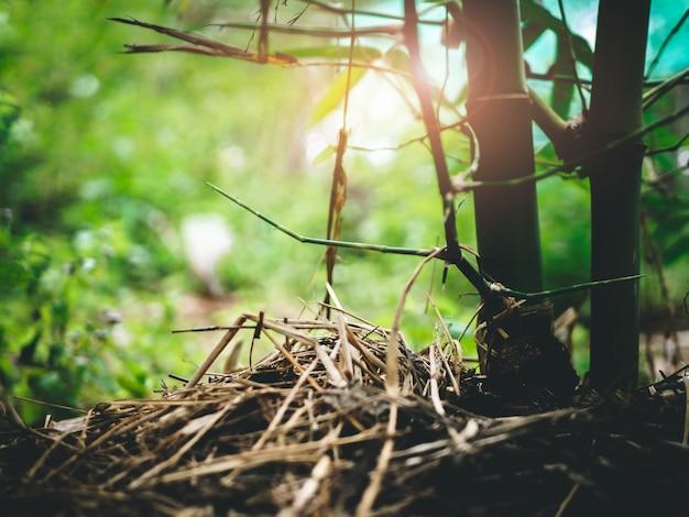 Maneira do agricultor de cultivar bambus naturais cobertos de palha