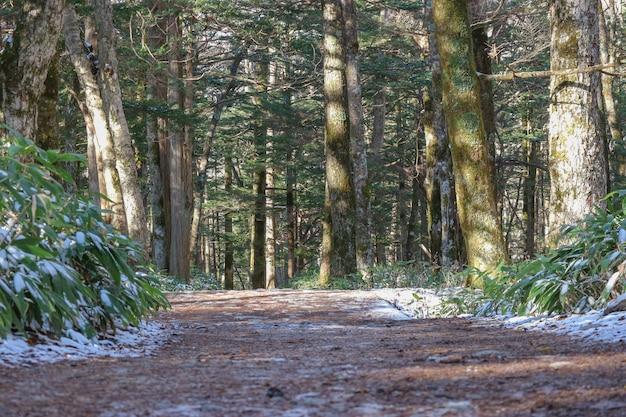 Maneira natural da caminhada na floresta dos pinheiros.