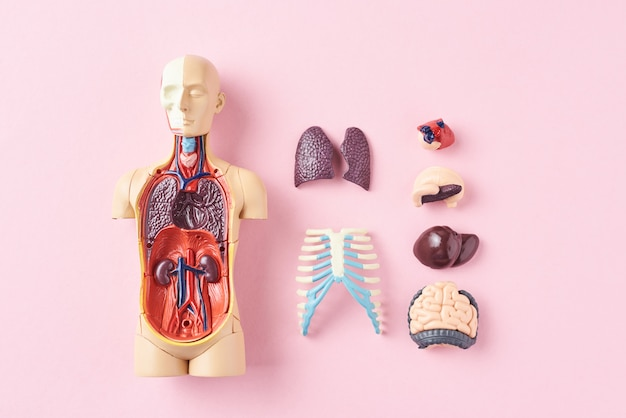 Manequim de anatomia humana com órgãos internos em uma vista superior de fundo rosa