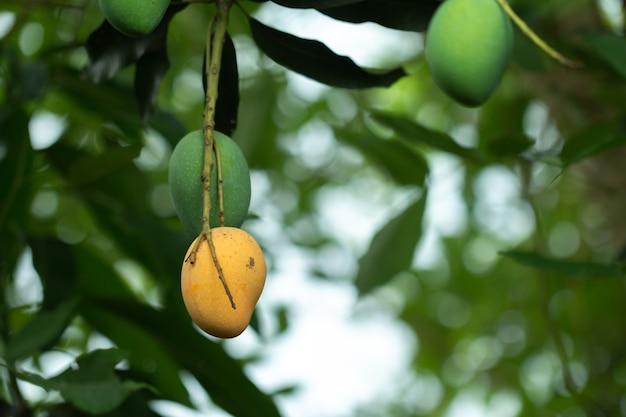 Manga crua e madura fresca na árvore, fruta do verão na árvore