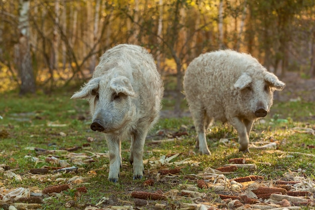 Mangalica, uma raça húngara de porco doméstico na criação de porcos