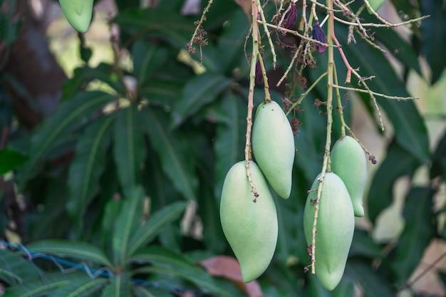 Mangas tailandesas frescas no jardim com fundo de céu azul